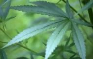 Portal 180 - Alemania comenzó con el cultivo estatal de marihuana