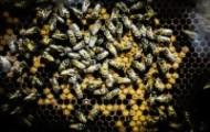Portal 180 - MGAP: causa de muerte de abejas en Salto y Paysandú fue un producto ilegal desde 2009