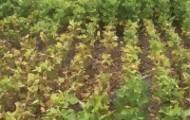 Portal 180 - Falta de lluvia encamina a la soja a una de sus peores zafras