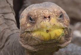 Portal 180 - Galápagos: especie de tortuga que se creía extinta será reproducida en cautiverio