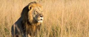 Portal 180 - Uno de los hijos del león Cecil murió a tiros de un cazador de trofeos en Zimbabue
