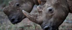 Portal 180 - Polémica por una subasta de cuernos de rinoceronte en Sudáfrica