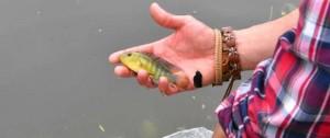 Portal 180 - Intendencia introdujo 200 peces en el lago del Parque Rodó