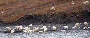 Portal 180 - Osos polares están hacinados en una isla a causa del cambio climático