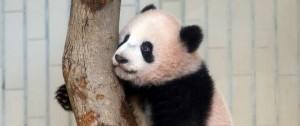 Portal 180 - El gobierno de Japón presentó a su nuevo bebé panda