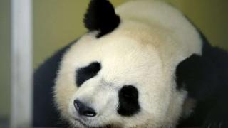 Francia espera el nacimiento de su primer bebé panda | 180