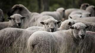 Uruguay podrá exportar carne ovina con hueso a Singapur | 180