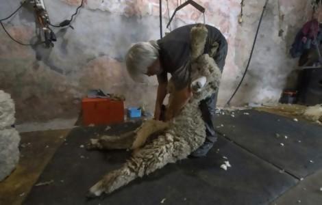 Portal 180 - De las ovejas a los coches de lujo alemanes, Uruguay pone a viajar su lana