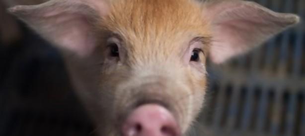 Portal 180 - Cerdos genéticamente modificados podrían ser donantes de órganos