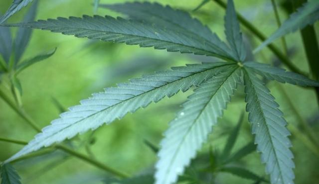 Alemania comenzó con el cultivo estatal de marihuana