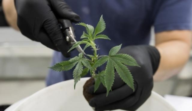 """Marihuana medicinal: desde legalización en 2013 """"no se avanzó un milímetro"""""""
