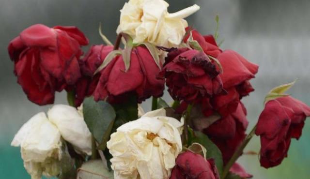 Queda solo un productor de rosas en Uruguay