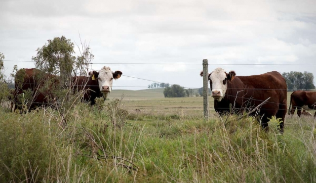 """Exportación de ganado en pie: """"Si dejamos las vacas acá, no las matan"""""""