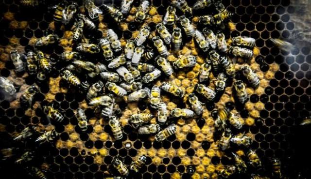 MGAP: causa de muerte de abejas en Salto y Paysandú fue un producto ilegal desde 2009