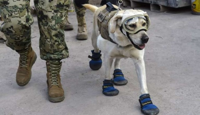 Twitter homenajea a perra rescatista para seguir ayudando a México
