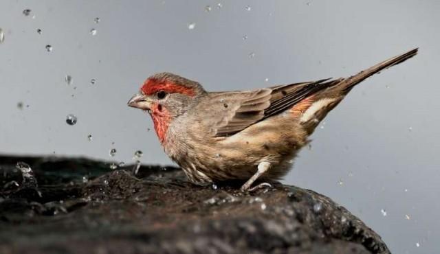 Algunas aves usan colillas de cigarrillos para fumigar sus nidos