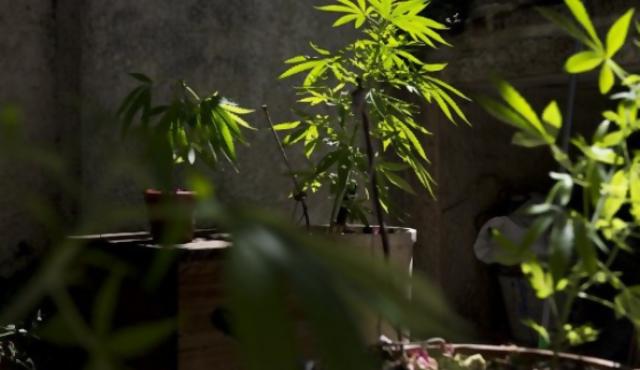 Amado y Radío apoyan con reparos la ley sobre la marihuana