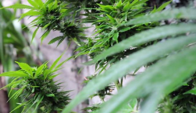 Marihuana: de las sombras a los laboratorios