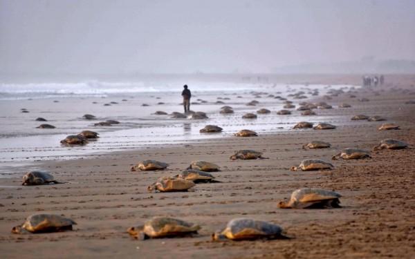 Tortugas marinas regresan al agua en India || AFP