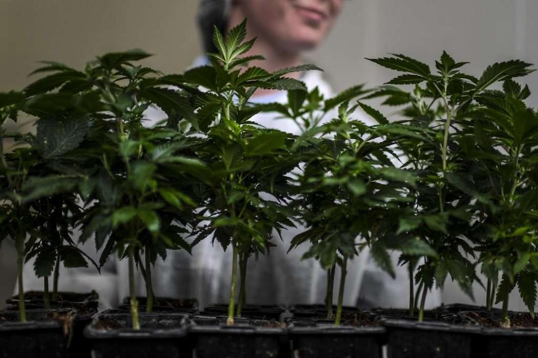 Gobierno quiere impulsar el cannabis al nivel de la carne  — 180.com.uy | Del Sol 99.5 en el Mundial Rusia 2018