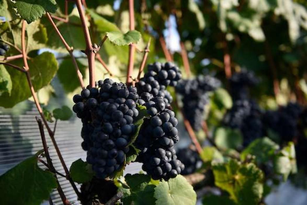 El sueño vinícola que viajó de la Liguria a Progreso hace un siglo — 180.com.uy | Del Sol 99.5 en el Mundial Rusia 2018
