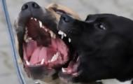 Portal 180 - Veterinarios aún no se ponen de acuerdo sobre perros potencialmente peligrosos