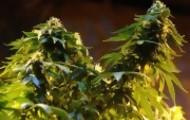 Portal 180 - Ley de Cannabis Medicinal completa el paquete de regulación de la marihuana