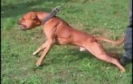 """Portal 180 - Reclaman exigir permiso para la tenencia de """"perros potencialmente peligrosos"""""""