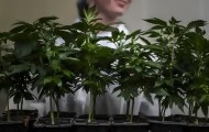 """Portal 180 - Gobierno busca """"acelerar"""" exportación de cannabis medicinal"""