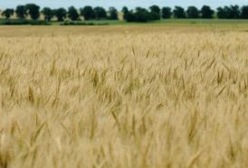 Portal 180 - El hambre china de cereales hace explotar los precios en 2020