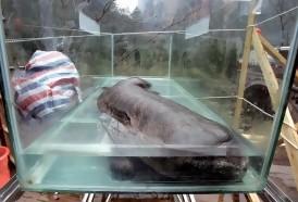 Portal 180 - La salamandra gigante de China al borde de la extinción, según estudio