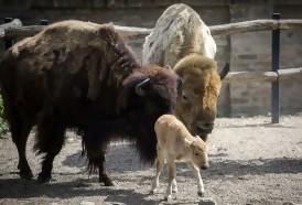 Portal 180 - Nacimiento excepcional de una cría de bisonte americano blanco en zoo de Belgrado