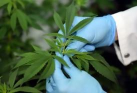 Portal 180 - OMS pretende quitar a la marihuana de la lista de drogas más peligrosas