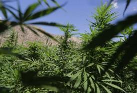 Portal 180 - OMS podría quitar al cannabis de las drogas clasificadas como peligrosas