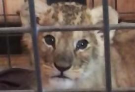 Portal 180 - Francia registra varios casos de leones cachorros en manos de particulares