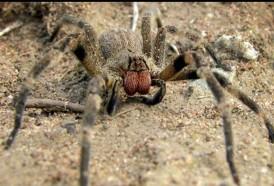 """Portal 180 - Araña bananera: """"la mayor parte de las mordeduras son leves"""""""