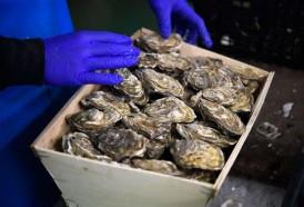 Portal 180 - El cambio climático debilita a las ostras