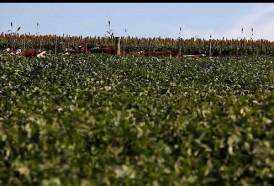 Portal 180 - MGAP registró el primer controlador biológico del país para cultivos extensivos