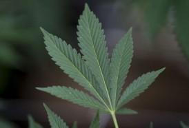 Portal 180 - Primera exportación de marihuana medicinal uruguaya lista para despegar