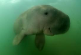 Portal 180 - Hallaron nueva cría huérfana de dugongo en Tailandia
