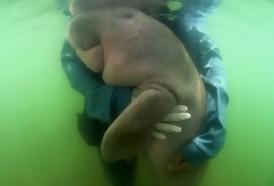 Portal 180 - Dos dugongos bebés son las nuevas estrellas de Tailandia