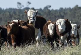 Portal 180 - Pese a dudas iniciales, exportaciones de carne a China se mantienen