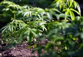 Portal 180 - Marihuana legal: ampliar los dispensarios, descentralizar la producción y habilitar venta a turistas