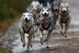 Portal 180 - Los perros, al igual que los lobos, cooperan para obtener recompensas