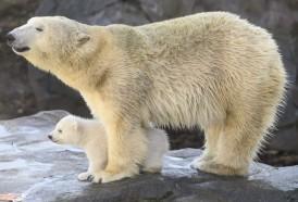 Portal 180 - Aumenta el canibalismo entre los osos polares, dicen científicos rusos