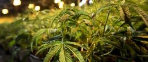 Portal 180 - Comisión de la ONU reconoce valor medicinal del cannabis