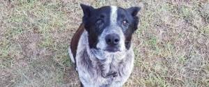 Portal 180 - Un perro australiano recibió honores policiales por cuidar a una niña perdida