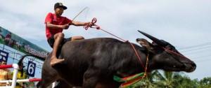 Portal 180 - Espectacular carrera anual de búfalos en Tailandia