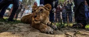 Portal 180 - La preocupante moda de los cachorros de león y de tigre