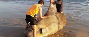 Portal 180 - Hallaron un pez luna gigante encallado en una playa de Australia